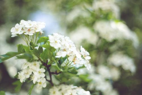 nature-flowers-plant-white